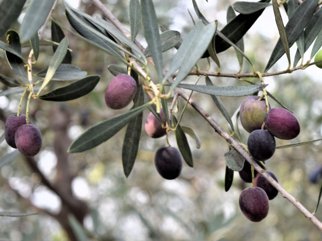 olive-IT-0030-02