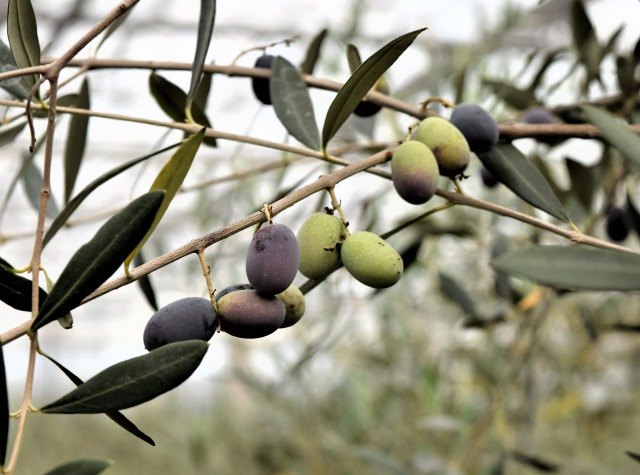 olive-IT-0035-01