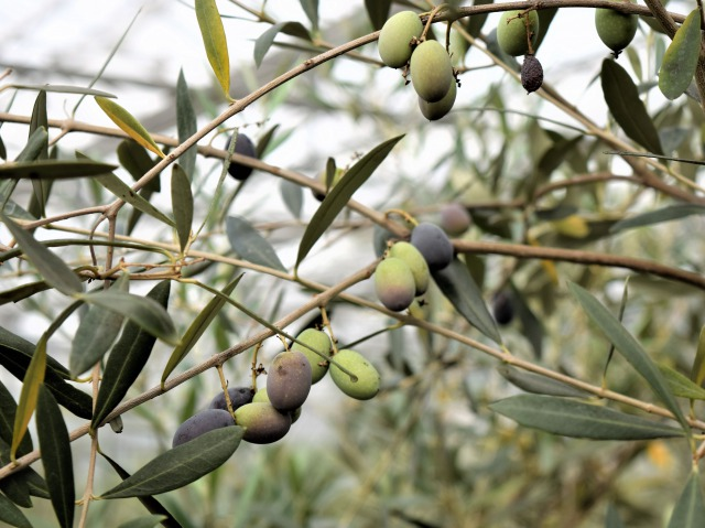 olive-IT-0035-02