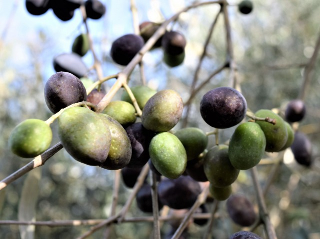 olive-IT-0060-01