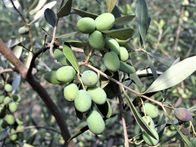 olive-IT-0062-02